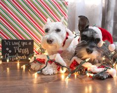 We all know the impatient dogs who just want to get somewhere. Xmas Pictures, Cute Animal Pictures, Dog Pictures, Schnauzer Puppy, Miniature Schnauzer, Schnauzers, Mini Puppies, Dogs And Puppies, Doggies