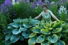 Что бы хоста росла большой,красивой и радовала здоровыми и блестящими листьями её тоже надо любить и кормить. Глубокое заблуждение,что её достаточно посадить в землю и ей больше ничего не надо.Пове…