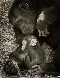 Mother and baby chimp critters животные, детеныши животных, Primates, Mammals, Cute Baby Animals, Animals And Pets, Funny Animals, Strange Animals, Mother And Baby Animals, Wild Animals, Beautiful Creatures