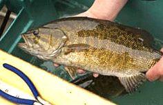 Bass Fishing in Michigan - DNR