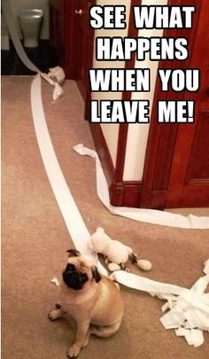 And this is why you never leave your pug alone.