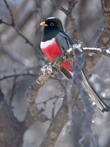 Elegant Trogon is the most poleward-occurring species of trogon in the world, ranging from Guatemala in the south as far north as the upper Gila River in Arizona and New Mexico