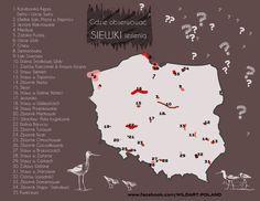 Przedstawiamy najlepsze miejsca w Polsce do obserwowania siewek (Pluvialinae) - podrodziny ptaków.