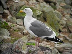 Western Gull by henicorhina, via Flickr