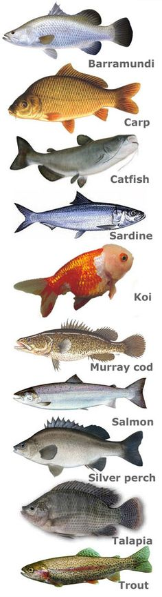 Discussion of which fish to use with aquaponics. Depends on whether you plan to eat them or just like decorative fish.: Discussion of which fish to use with aquaponics. Depends on whether you plan to eat them or just like decorative fish.