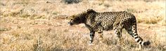 """Cheetahs have excellent eye sight. They can """"see for miles"""" like The Who."""