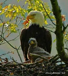 Majestic eagle with chick