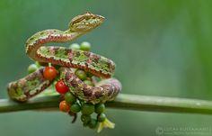 Eyelash Palm-Pitviper (Bothriechis schlegelii) | by Lucas M. Bustamante