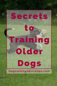 Secrets to Training Older Dogs | When you relate the idea of training and learning, we can say that it is much easier to understand things when we are young. The earlier you start, the more you can learn and the easier it is to absorb concepts. This is something very true for humans and dogs as well. But even if it is hard and comes with its own set of challenges, it is not impossible for older dogs to learn and re-learn things. Here are a few Tried and Tested Training Tips for Older Dogs.