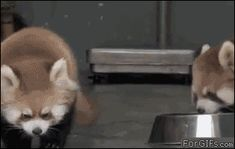 "Red Panda- so indignant! Like, ""You ASShat!"""