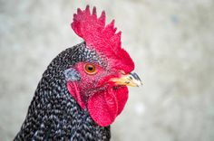 passport closeup pictures of cocks the most beautiful cocks