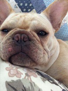 """It's too early""... ""go away"", sleepy and cranky French Bulldog ❤"