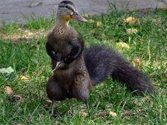 (2011-06) Squirrel + duck = squick?