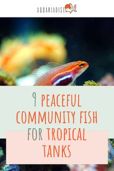 Nothing's worse than creating your dream aquarium, and finding out the fish you've chosen to inhabit the tank, don't get along. Check out our list of the most peaceful fish species to pair together in a tropical aquarium.