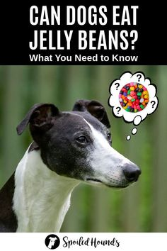 Can dogs eat jelly beans? Keep your dog safe and find out what you need to know about dogs eating jelly bean candy. #dogsafety #doghealth #dogs #doglovers #doginformation #dogownertips #pethealth #jellybean