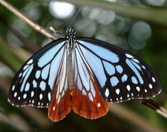 The Chestnut Tiger (Parantica sita) is a butterfly found in Asia