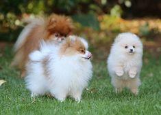 Pomeranians: Chipi, Freddy & Charly