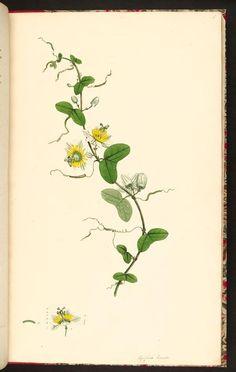 Icones pictae plantarum rariorum descriptionibus et observationibus illustratae; 1790 - Biodiversity Heritage Library/Missouri Botanical Gardens rare book collection  -  pasiflora (passion flower)