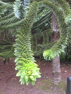 My favorite tree, Monkey puzzle tree on the OR coast