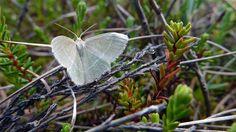 Suomen perhosmaailma on saanut 2000-luvulla runsaasti uusia lajeja. Uudet lajit ovat ilmaston lämmetessä myös laajentaneet esiintymistään kovaa vauhtia kohti pohjoista. Samaan aikaan monet eteläisen Suomen soilla elävät perhoset näyttävät vetäytyvän kohti pohjoista.