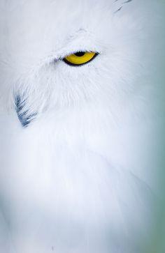 "fairy-wren: "" snowy owl (photo by monika krankillova) "" Beautiful Owl, Animals Beautiful, Cute Animals, Owl Photos, Owl Pictures, Owl Feather Tattoos, Raven And Wolf, Tier Fotos, Snowy Owl"