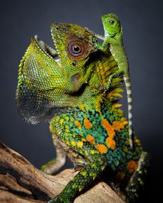 I shoot photos of exotic reptiles for a living. Figured you guys might like to see a highlights album! Animals Of The World, Animals And Pets, Cute Animals, Wild Life, Congratulations Photos, Lizard Dragon, Beautiful Bugs, Colorful Animals, Exotic Animals