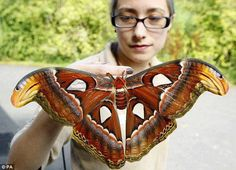 Atlas Moths, the largest moth species in the world. Butterfly keeper Heather Prince holds one these beautiful newly emerged Atlas Moths at Chester Zoo.