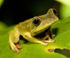 Frog in Tambopata, Peru. Getty Images.