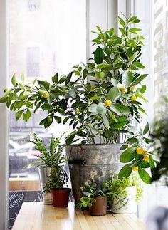 Lemon tree in a vintage planter.