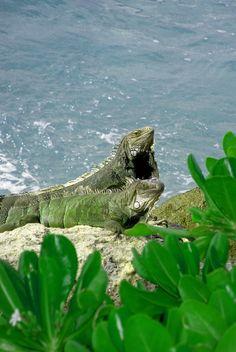 Aruba ... iguana;  green on green!