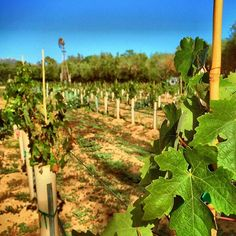 #BernardoWinery - The grapes are growing well