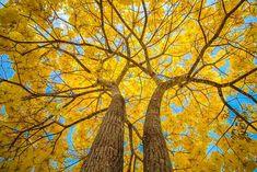 Considerado um das árvores mais bonitas, existem vários Tipos de Ipês. O Ipê é uma árvore do gênero Tabebuia, pertencente à família Bignoniaceae, e pode ser encontrada em seu estado nativo em todo o Brasil. #ipes #flores #plantas #jardins #orquideas #casa #modacasa #arquitetura