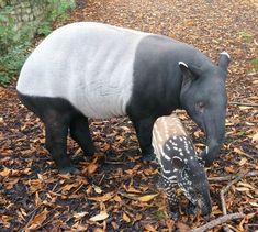 Malayan Tapir mother and baby at Edinburgh Zoo