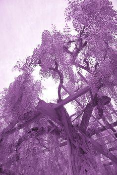 Wisteria Trellis, Wisteria Tree, Lavender Aesthetic, Purple Aesthetic, Mauve, Lilac, Purple Haze, Shades Of Purple, Landscape Photos