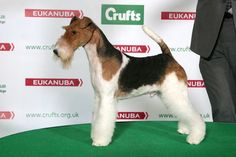 pedigreepooch:  KING ARTHUR VAN FOLINY HOME, Fox Terrier (Wire)