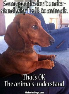 .I talk to 'em!! Dachshund Love, Daschund, Dachshund Puppies, Dog Quotes, Dachshund Quotes, I Love Dogs, Cute Dogs, Cute Puppies, Dogs And Puppies