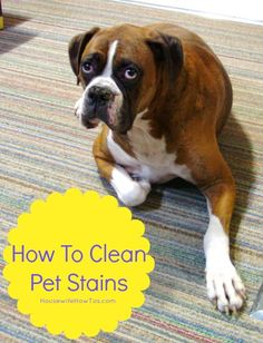 Here's how to clean pet stains of all sorts (urine, vomit or poop) from carpeting, tile or furniture, even stains that have dried and set in.