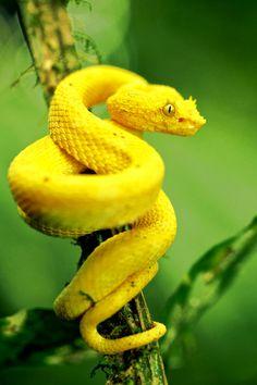 imalikshake:  Yellow eyelash pit viper (Bothriechis schlegelii)...