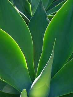 Agave attenuata by KarlGercens