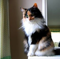 Calico maine coon http://www.mainecoonguide.com/