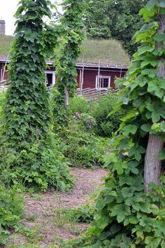 Humala, salamannopea varjopaikan köynnös. Kasvaa luontaisimmin salossa, eli keppi tai tikku vaan taimen juurelle ja tämä kiipeää sitä pitkin. Narukin käy!