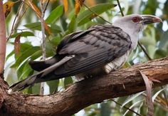Channelbilled Cuckoo