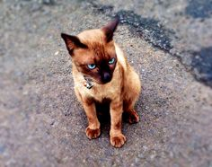 dexter #cat#burmese