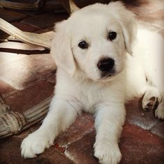 English Cream Golden Retriever Puppy by Sun Buddies English Cream Golden Retrievers, via Flickr