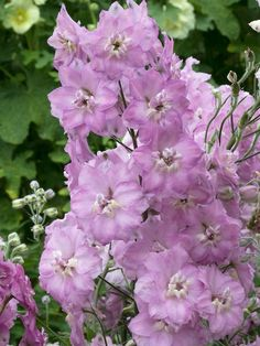Delphinium 'New Millennium™ Blushing Brides' - Blooms early summer to late summer.  Zones 3-8