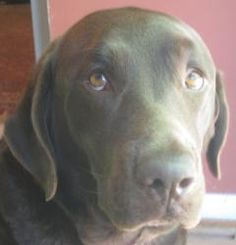 Naomi is an adoptable Labrador Retriever Dog in Vandalia, OH. To be considered as a potential adopter you must complete an application. NO EXCEPTIONS !! Email us for an application or information rega...