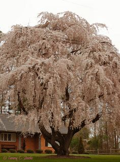 100 year-old  flowering cherry tree