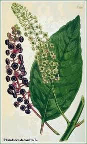 Poke Root #cherokee #healing #herb #herbal #medicine #native-american