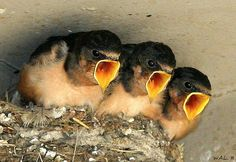 Barn Swallow Babies clearly hungry