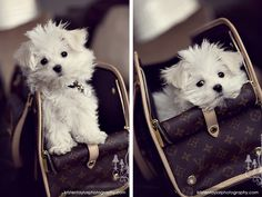 Hopefully the next addition to our family.....sometime in the near future if Kyle will allow :) Sweet maltese!